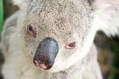 Closeup portraits of a koala — Stock Photo