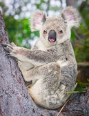 Portrait of a wild Koala sitting in a tree — Stock Photo