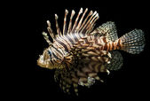 Isolated shot of a Lion fish — Stock Photo