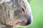 Close-up profile portrait of a wild koala — Foto Stock