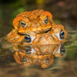 Two cane toads (Bufo marinus) mating - Stock Photo
