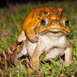 Two cane toads (Bufo marinus) mating — Stock Photo