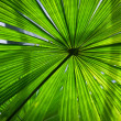Beautiful lush green fan palm frond — Stock Photo #10393528