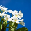 Royalty-Free Stock Photo: White Frangipani flowers
