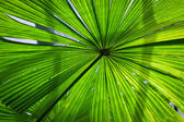 Beautiful lush green fan palm frond — Stock Photo