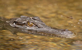 Close-up shot of saltwater crocodile — Stock Photo