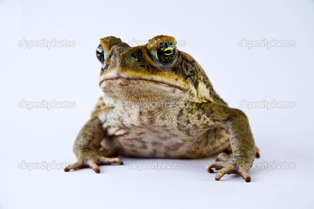 Cane toad (Bufos marinus) closeup and isolated over white  Stock Photo #10394141