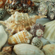 Decorative sea shells — Stock Photo