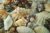 Decorative sea shells — Stock Photo