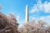 Washington DC Monument ,and Cherry Blossom — Stock Photo