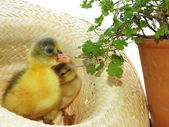 Newly hatched chicks cute — Stockfoto