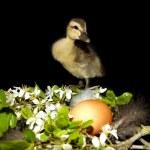 前面有一朵花的黑色背景的小鸭和 — 图库照片