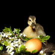 Small duck in front of black background with a flower and — ストック写真