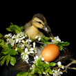 Small duck in front of black background with a flower and — Stock Photo