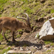 Ibex release — Stock Photo