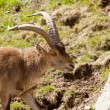 Stock Photo: Ibex release