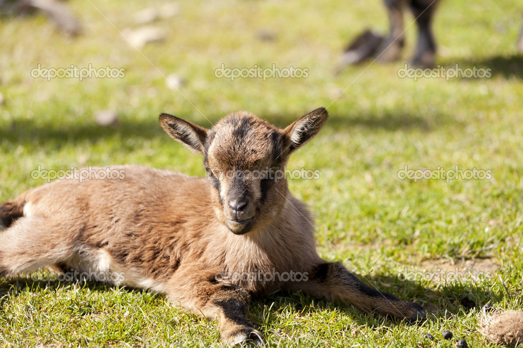 Small goat lying on the grass — Stock Photo #10207618