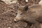 野猪 — 图库照片