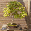 Acer palmatum bonsai — Stock Photo