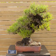 Stock Photo: Pinus thunbergii