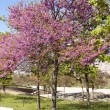 Cercis siliquastrum — Stock Photo #10411680