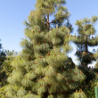 Pinus canariensis — Stock Photo #10412734