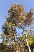 Eucalyptus fasciculosa — Stock Photo