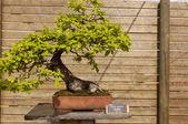 Quercus humilis — Stock Photo