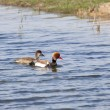 Stock Photo: Pochard NettRufinor