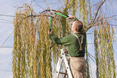 Gardener pruning a tree — Photo