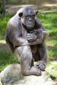 Closeup of chimpanzee (Pan troglodytes) — Stock Photo