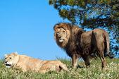 The Lion King — Zdjęcie stockowe
