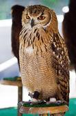 Wild owl orange eyes — Stock Photo