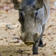 Warthog or Common Warthog, Phacochoerus africanus - Stock Photo