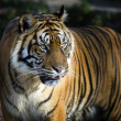Sumatran tiger panthera tigris sumatrae - Stock Photo