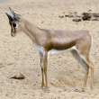 Stock Photo: Small gazelle
