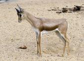 小羚羊 — 图库照片