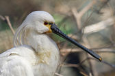 Common Spoonbill — Stock Photo