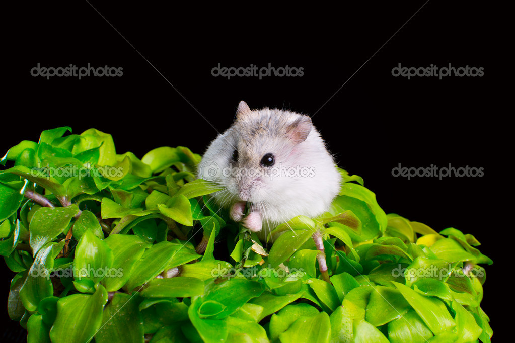 Hamster on a green flower in a pot on a black background  Stock Photo #10393077