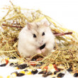 Jungar hamster on a white background — Stock Photo