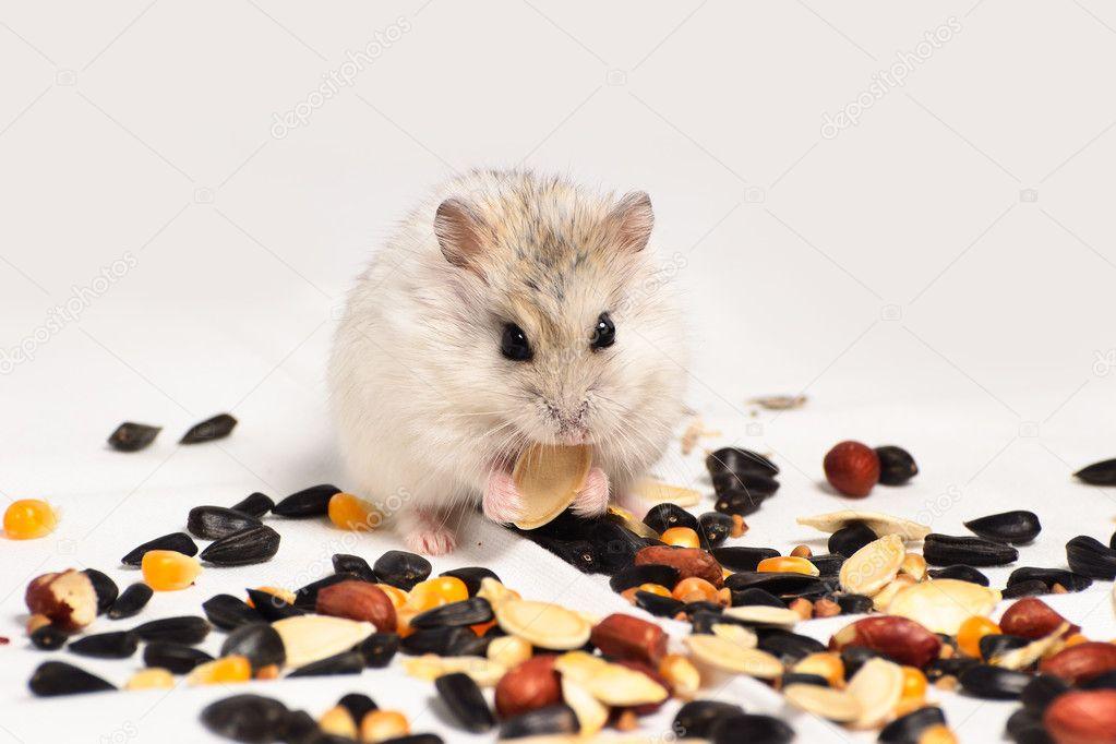 在白色背景上的准噶尔仓鼠吃坚果– 图库图片