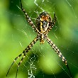 Spider, Argiope bruennichi — Stock Photo