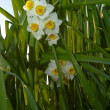 Flower of Narcissus — Foto Stock