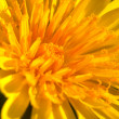 Stock Photo: Flower ( taraxacum vulgare )