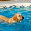 Golden Retriever swimming — Stock Photo #8104990
