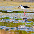 Stock Photo: Black-Winged Stilt