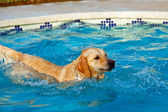 Golden Retriever swimming — Stock Photo