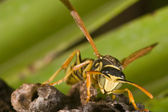 Wasp (Polistes bischoffi) — Foto de Stock
