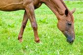At çim yeme — Stok fotoğraf