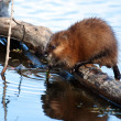 Muskrat (Ondatra zibethicus) — Stock Photo